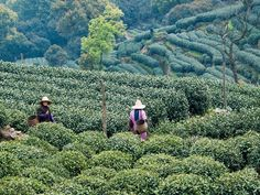 Dragon Well Tea Harvest in China