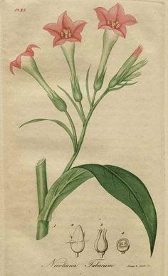 Nicotina tabacum (tobacco) - Jacob Bigelow. American Medical Botany. Boston, 1817