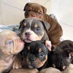 This amazing pitbull puppy will bring you joy. Dogs are amazing companions. Cute Bulldog Puppies, Super Cute Puppies, Cute Baby Dogs, Cute Little Puppies, Cute Dogs And Puppies, Doggies, Pit Puppies, Puppy Pitbulls, Pitbulls Bluenose