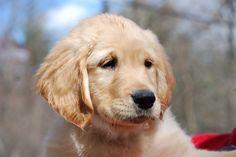 11AM Cute Puppy — Rosella