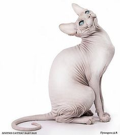 sphynx cat Baby-Rah Sphynx Kittens For Sale, Cats And Kittens, Animals And Pets, Cute Animals, Creepy Cat, Sphinx Cat, Cat Reference, Cattery, Cat Facts