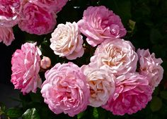 cinderella fairy tale kordes 2003 shrub rose wilhem