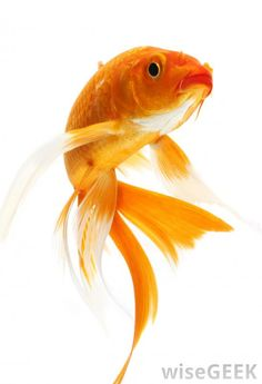 goldfish | The goldfish is a member of the carp family.