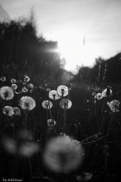 Beautiful. Love that it's in black and white. Dandelions.