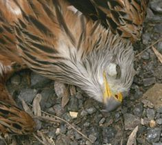 Now thats a deterent! Farmer jailed for poisoning birds of prey