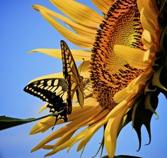 Orange yellow giant sunflower head with black dots is visited by a yellow black butterfly (appears to be an Eastern Tiger Swallowtail) Beautiful Butterflies, Beautiful Flowers, Colorful Flowers, Flower Power, Sunflower Flower, Yellow Sunflower, Butterfly Kisses, Butterfly House, Butterfly Art