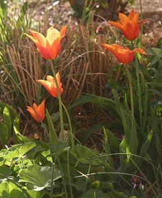 Die lilienblütige Tulpe Ballerina zeigt sich mal elegant, mal romantisch, mal fröhlich. http://www.hobbygarten.de/gartengestaltung/blumenzwiebeln/