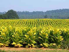 my childhood--plantbeds, setting, topping, hoeing out, cutting, stripping, selling tobacco