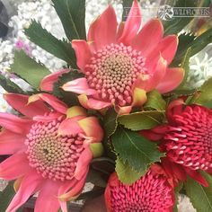Australian Native Garden, Australian Native Flowers, Australian Plants, Botanical Flowers, Tropical Flowers, Botanical Art, Amazing Flowers, Beautiful Flowers, Waratah Flower