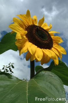 Sunflower and stormy summer skies