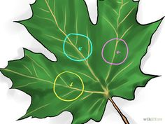 How to Identify Sugar Maple Trees. The sugar maple tree (Acer saccharum) grows abundantly in the northeastern part of North America: the northeastern United States (including as far south as Tennessee) and the southeastern portion of. Maple Syrup Tree, Maple Syrup Evaporator, Tapping Maple Trees, Homemade Chocolate Syrup, Leaf Identification, Sugar Bush, Edible Plants, Growing Tree, Apple Tree