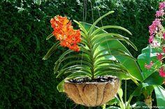 Orchidée Vanda en panier de coco : la fibre laisse passer l'air et évite ainsi le risque de pourriture racinaire. Les écorces à l'intérieur du panier gardent une certaine humidité au niveau des racines. Nature, Health, Gardens, Home, Plants, All Flowers, Planting Flowers, Vanda Orchids, Growing Orchids