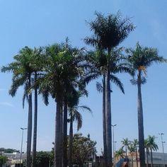 Bom diaaaa! Outubro começa lindo! As palmeiras imperiais e esse azul de fundo para inspirar a vida.🌴 #bomdia #bemvindooutubro #dialindo #inspirações