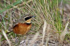 Photos of Melanopareiidae of Argentina Animals Planet, Bird, Collar, Pictures, Birds