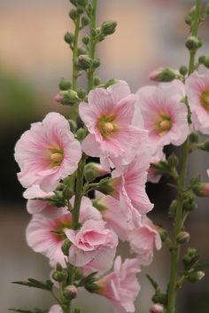 Hollyhocks Flowers, Flowers Perennials, Planting Flowers, Flowers Nature, Beautiful Flowers, Malva, Pink Garden, Beautiful Flower Arrangements, Flower Aesthetic