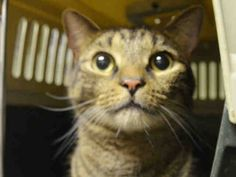 MAX - A1049059 - - Manhattan ***TO BE DESTROYED 08/28/15***PURRFECTLY HEALTHY, LOVING BETRAYED HOUSE PET NEEDS NEW FRIEND-BE MAX'S HERO! Sad sigh! Marvelous Max was a loyal, loving and faithful feline friend to his family for the past few years when he was dumped at the shelter just a few short days ago due to severe allergies of one of the kids Max lived with. Max is purrfectly healthy, used to living with kids, gentle and loving around them and tolerated all petting an