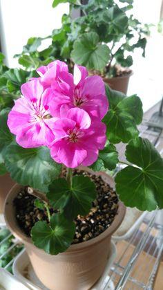 Pink Geranium, Geraniums, Plants
