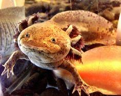 #Axolotl