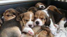 Beagle pups are So cute <3