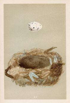 Francis Orpen Morris   'A Natural History of the Nests & Eggs of British Birds.' 1853    Alpine Accentor nest, and egg
