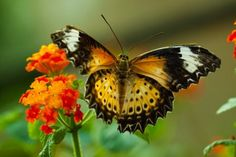 Great Eggfly Butterfly - TouCanvas Butterfly Photos, Blue Moon, Butterflies, Insects, Full Moon, Butterfly