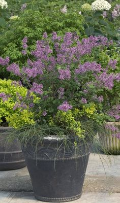 Bloomerang Purple Reblooming Lilac offers wonderfully scented blooms in spring, with the bonus of additional blooms later in the season! Container Plants, Container Gardening, Flower Containers, Flower Gardening, Garden Plants, Gardening Books, Organic Gardening, Gardening Tips, Bloomerang Lilac