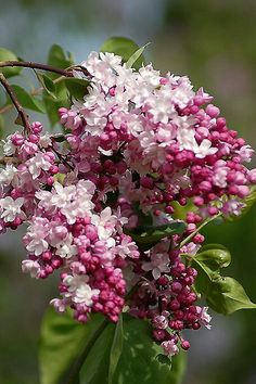 Purple Lilac - State Flower of New Hampshire - bloom Approximately Memorial Day Weekend. Old Fashioned Lilacs are Purple and White.  New hybrid cultivars range from shades of purple, throughout the ranges of pink and white, to a Sunny  Bright Yellow. I had the old fashioned purple and white Lilacs for my weddings(2). They are beautiful and so fragrant.