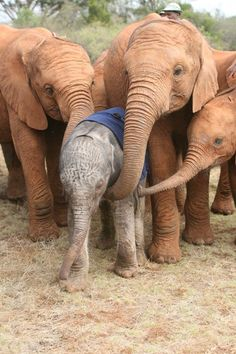 Orphaned due to rampant poaching across Africa for their ivory, these baby elephants were rescued by the organization DSWT in Nairobi, Kenya.