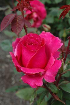 'Rosa 'Rina Hugo'| Hybrid Tea Rose