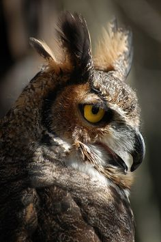 Great Horned Owl by robbles1