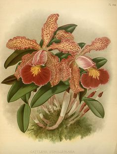 Cattleya schilleriana Orchid album : London :B. S. Williams,1882-97..