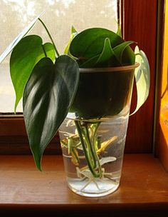 Philodendron cuttings