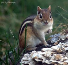 Chipmunk by vtsoutherngal, via Flickr