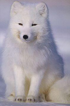 polární liska