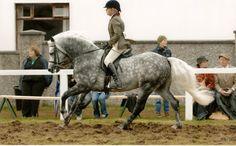 Fernville Danny  Fernville Connemara Pony Stud Farm  Susanne Lehmann Foto-Job.com
