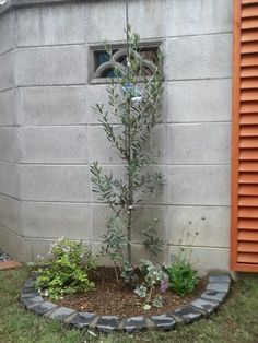 The olive whch a friend planted