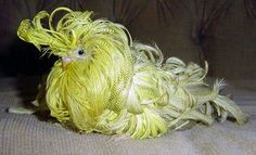 Feather duster parakeet!