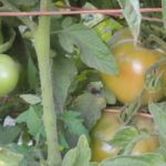 How A Tomato Turns Red & Ripening Green Tomatoes