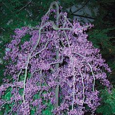 Lavender Twist Weeping Redbud Tree