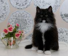 Norwegian Forest Cat Breeders Australia - Norwegian Forest Kittens ...