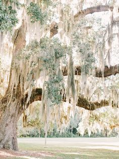 Spanish moss on a live oak. One of my favorite things in the world...gorgeous wedding venue!