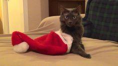 Thanks Simone! Christmas Kitty, Costume Contest, Christmas Costumes, Animals, Animais, Christmas Fancy Dress, Animales, Animaux, Animal