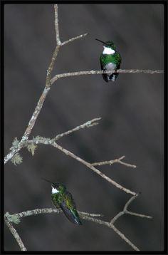 White-throated Hummingbird - Beija-flor-de-papo-branco (Leucochloris albicollis) All Birds, Little Birds, Elisa Lucinda, Wrens, Bee Eater, Humming Birds, Finches, Chickadees, Spring Fever