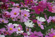 purple daisies in spring