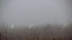 Whooping cranes (Grus americana) - Goose Pond Fish and Wildlife Area Indiana United States [OC][2048x1131]