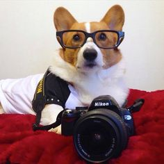 Our buddy Loki #corgistagram is ready for a #photoshoot … but he wants to be the photographer! Doesn't he look so smart in his glasses??? And he looks so #cute in his Fetch Dog Fashions #bling #custommade hoodie from our #etsy store :) https://www.etsy.com/shop/FetchDogFashions #corgi Photo thanks to @corgistagram #cutestdogever #etsystore #etsyfind #dog #dogclothing