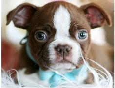 boston terrier cute pictures pinterest terrier dog rules and dog