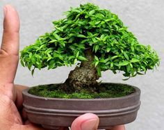 Mame tropical bonsai