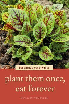 Perennial Vegetables, Planting Vegetables, Organic Vegetables, Growing Vegetables, Perennial Plant, Perennial Gardens, Organic Fruit, Purslane Plant, Sorrel Plant