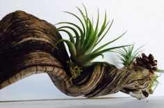 FREE SHIPPING Driftwood art air plant holder - plants and edibles ...